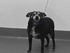 From Bellflower, CA, USA...18-18015 is a black/white, male adult dog, that weighs approximately 20 lbs. He was impounded on 4/2/2018 from the City of Bellflower.  Availability:  Available for adoption holds on 4/2/2018. Adoption holds must be placed in person. Adoption availability date 4/6/2018.  Please visit SEAACA and ask for identification number 18-18015 to see me.