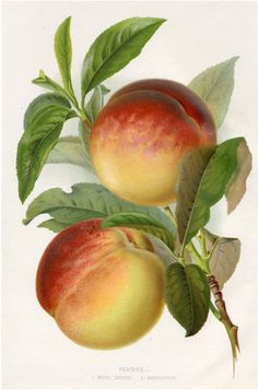 Royal George Peaches -- 1895