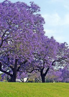 """Jacaranda trees on east coast. Beautiful in Oct and Nov."" Re-pinned on my Tree board but after reading the posts on the web page decided they needed to be on my Aus. board too. S."
