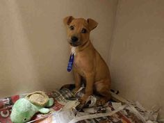 ***URGENT! 10/26/16 PEANUT IS JUST A BABY!!!! - ID#A467313 - Harris County Animal Shelter in Houston, Texas - ADOPT OR FOSTER - 3 MONTH OLD Male Labrador Retriever mix - at the shelter since Sep 01, 2016.