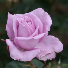 """Blue Moon®, One of the first lavender-blue hybrid tea roses. Long pointed buds open into beautiful, fully double blooms that are blessed with intense fragrance. Bred from 'Sterling Silver.' Petals 35, Bloom 4"""""""