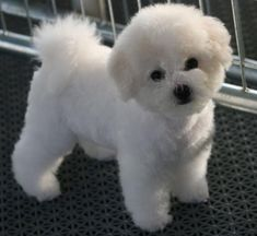 Bichons: The Bichon Frise (pronounced BEE-shawn FREE-say; the plural is Bichons Frises) is a cheerful, small dog breed with a love of mischief and a lot of love to give. Cute Dogs And Puppies, I Love Dogs, Pet Dogs, Dog Cat, Doggies, Cute Small Dogs, Animals And Pets, Baby Animals, Cute Animals