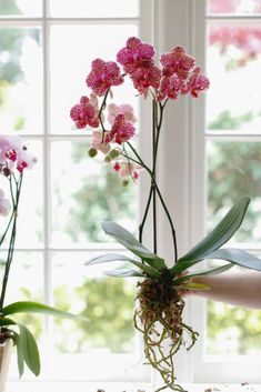 10 Things Nobody Tells You About Orchids Orchids In Water, Indoor Orchids, Orchids Garden, Indoor Plants, White Orchids, Flowers Garden, Water Culture Orchids, Fruit Garden, Potted Plants