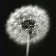 dandelion #3, 18x18 silver gelatin print by David Johndrow, 2005
