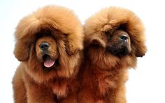tibetan mastiff dogs for sale in the united states Tibetan Dog Breeds, Tibetan Mastiff Dog, Mastiff Dogs, Giant Dog Breeds, Rare Dog Breeds, Giant Dogs, Cute Animal Pictures, Dog Pictures, Dogue Du Tibet