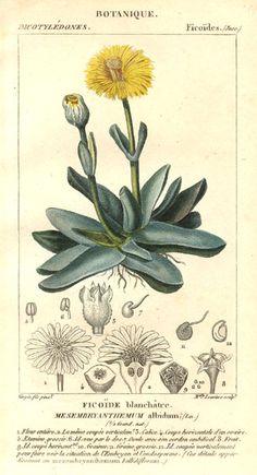 Mesembryanthemum albidum, Dictionnaire des sciences naturelles.
