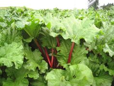 Growing Guide for homegrown rhubarb crowns