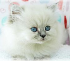 Himalayan Kitten Face Picture.PNG