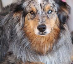 Indigo, my gorgeous 6 year old Australian Shepard