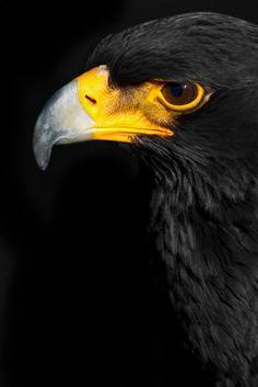 Birds of Prey - Black Eagle Portrait - by Mario Moreno Photo Animaliere, Photo To Art, Pretty Birds, Beautiful Birds, The Eagles, South African Birds, Animals And Pets, Cute Animals, Black Animals