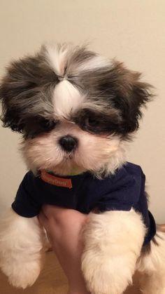 OMG - Shih Tzu Adorable !
