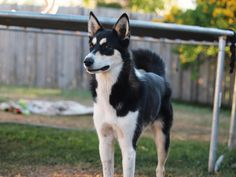 siberian husky border collie mix