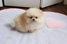 Cream Teacup Pomeranian