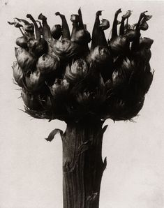 Karl Blossfeldt I - Inventaires Karl Blossfeldt, Flora Flowers, Dark Flowers, Unusual Flowers, Botanical Drawings, Botanical Illustration, Macro Photography, Fine Art Photography, Flora Botanica