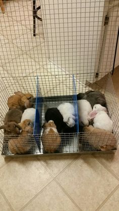 Bunnies,  holland lop and mini lop bunnies, lop eared bunnies, brown, sable, white, black, brown bunnies, travel cages for rabbits, bunnies, and other small animals