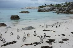 Cape Town: The What to Do // Boulders beach penguin colony Boulder Beach, Africa Travel, Cape Town, Bouldering, Penguins, Colonial, To Go, Wanderlust, Heart