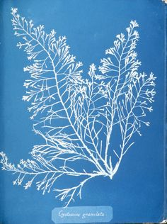 Stunning Cyanotypes of Sea Algae by the Self-Taught Victorian Botanist Anna Atkins, the First Woman Photographer and a Pioneer of Scientific Illustration Atkins, Anna, Monochrome Image, Books Art, Ocean Flowers, Wild Flowers, Cyanotype Process, Sun Prints, John Herschel