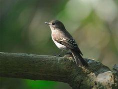 https://flic.kr/p/22pFZt | #36 寬鶲向曦 | 寬嘴鶲.攝於台灣 台北縣 野柳 Brown Flycatche, taken at Yehliu, Taipei County, TAIWAN