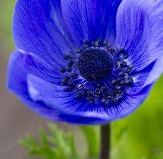 Anemones - Winter/Spring