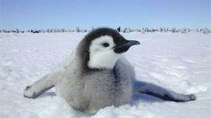 Cute baby penguin....