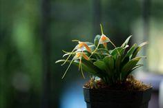 Masdevallia constricta - Miniature Orchid