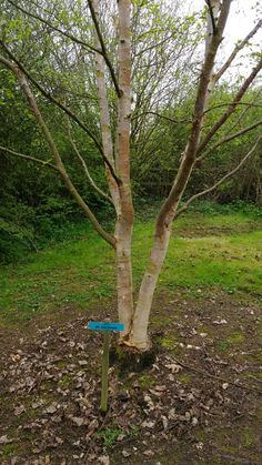 Betula ermanii 'Mt. Zao Purple'