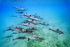 Picture of a group of spinner dolphins in Hawaii