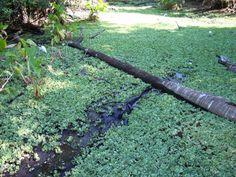A Big Gator Tiptoeing through the Water Lettuce. www.garygreenfield.com