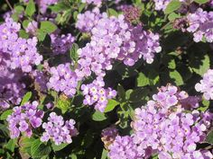 Purple in Spring!  Photos by Carra