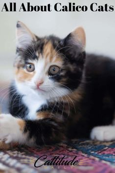 Feline All About Calico Cats - Cattitude Daily Kittens Cutest, Cats And Kittens, Ragdoll Kittens, Funny Kittens, Bengal Cats, Kitty Cats, Sleepy Cat, Cat Facts, Baby Cats