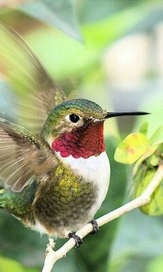 Ruby throated hummingbird (male- females are brown/green & white)