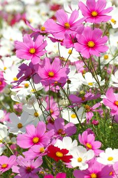 Cosmos, so colourful, so easy. An easy one for a cottage look. Amazing Flowers, My Flower, Fresh Flowers, Pink Flowers, Flower Power, Beautiful Flowers, Arrangements Ikebana, Cosmos Flowers, Little Gardens