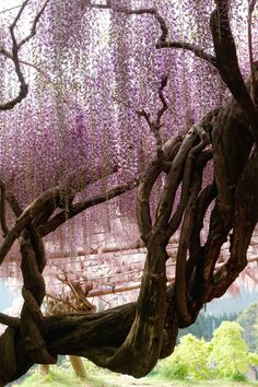 Wisteria tree at Kawachi Wisteria Garden in Fukuoka, Japan