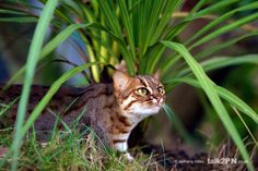 """Rusty Spotted Cat. They are nicknamed """"the hummingbirds of the cat family""""."""