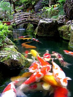 "Koi fish are the domesticated variety of common carp. Actually, the word ""koi"" comes from the Japanese word that means ""carp"". Outdoor koi ponds are relaxing. Fish Pond Gardens, Koi Fish Pond, Fish Ponds, Zen Gardens, Water Gardens, Backyard Water Feature, Ponds Backyard, Garden Ponds, Aquarium Zen"