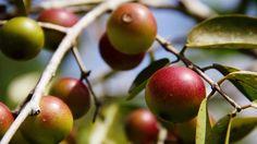 """Will Camu Camu Be The Next Amazonian """"It"""" Fruit?"""