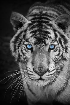 This is the most beautiful picture of a tiger taken I have ever seen! The blue in the tigers eyes is brought out very well! I love if!