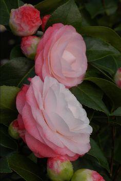 Camellia japonica 'Desire' (U.S., 1973)