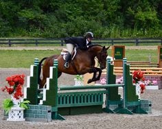NEW VIDEO ADDED FROM FIELDSTONE MAY 2017. 17.1 KWPN talented hunter gelding. Out of Olympic jumper stallion Vegas (Velsinus R) x Jus de Pomme (German Olympic Gold medal winner). Lovely mover who always gets a piece of the hack, with a great jump. He has been brought along correctly with top training, and he has very good flat work. Scopey and brave with a great hunter brain. Loves the derbies, and marches up hills and down banks with a calmness that belies his age. Adjustable and for...