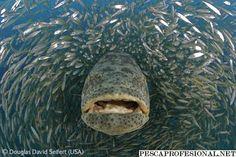 El mero gigante: el pez óseo más grande entre los que habitan en los arrecifes. El adulto puede alcanzar los 2,7 metros de largo y los 600 Kg. Tiene una boca muy amplia y una cola en forma de abanico. ¿Te animas a verlo en nuestro fondo marino?