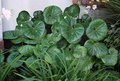 Ligularia reniformis Tractor seat plant x Tropical Garden, Tropical Plants, Lomandra, Tractor Seats, Garden Spaces, Shade Garden, Garden Inspiration, Perennials, Lush