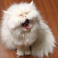yawning fluffy cat