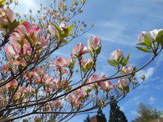 Beautiful blooms in Burien, WA! (photo: jettapug)