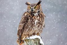 (Photo © Paul Bruch / Getty Images)--Great horned owls are the only animal that feeds on skunks with regularity. They do not feed exclusively on skunks but instead feed on a wide variety of prey species. Although they mainly feed on small mammals, great horned owls also feed on birds such as peregrine falcon nestlings and osprey nestlings.  They also take American crows, both adults and nestlings. For this reason, American crows often mob owls and caw at them to discourage them.