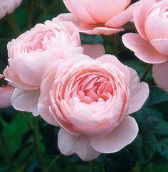 Queen of sweden - d.austin rose Queen of sweden - d. Roses David Austin, David Austin Rosen, Queen Of Sweden Rose, Rose Queen, My Flower, Pretty Flowers, Pink Flowers, Red Roses, Plantar Rosales