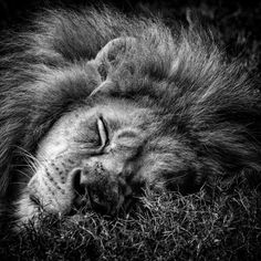 A Photograph of a sleeping lion. Photo is professionally printed in one of the best labs in the US. None of my photos are printed on a home inkjet
