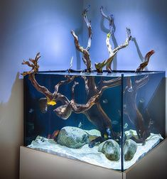 Love this open top aquarium with a gorgeous peice of manzanita wood by @okeanosgroup