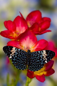 """Sammamish Washington Tropical Butterflies photograph Hamadryas arinome the Starry Night Butterfly on beautiful fresia flower""""           by Danita Delimont"""