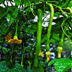 growing squash and melons on a trellis