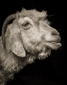 Photographer Takes Dramatic Studio Portraits Of Sheep And Goats Striking A Pose